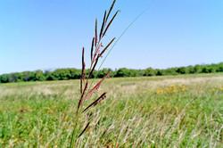 Prarie cordgrass - Spartina pectinata 1