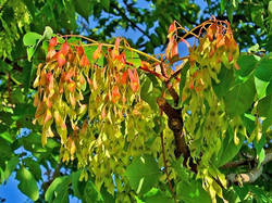 Tree of heaven - Ailanthus altissima 24