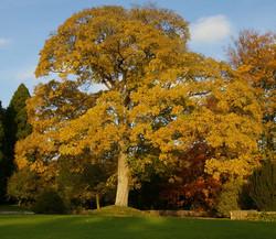Sycamore - Acer pseudoplatanus 12