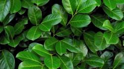 Cherry Laurel - Prunus laurocerasus 11