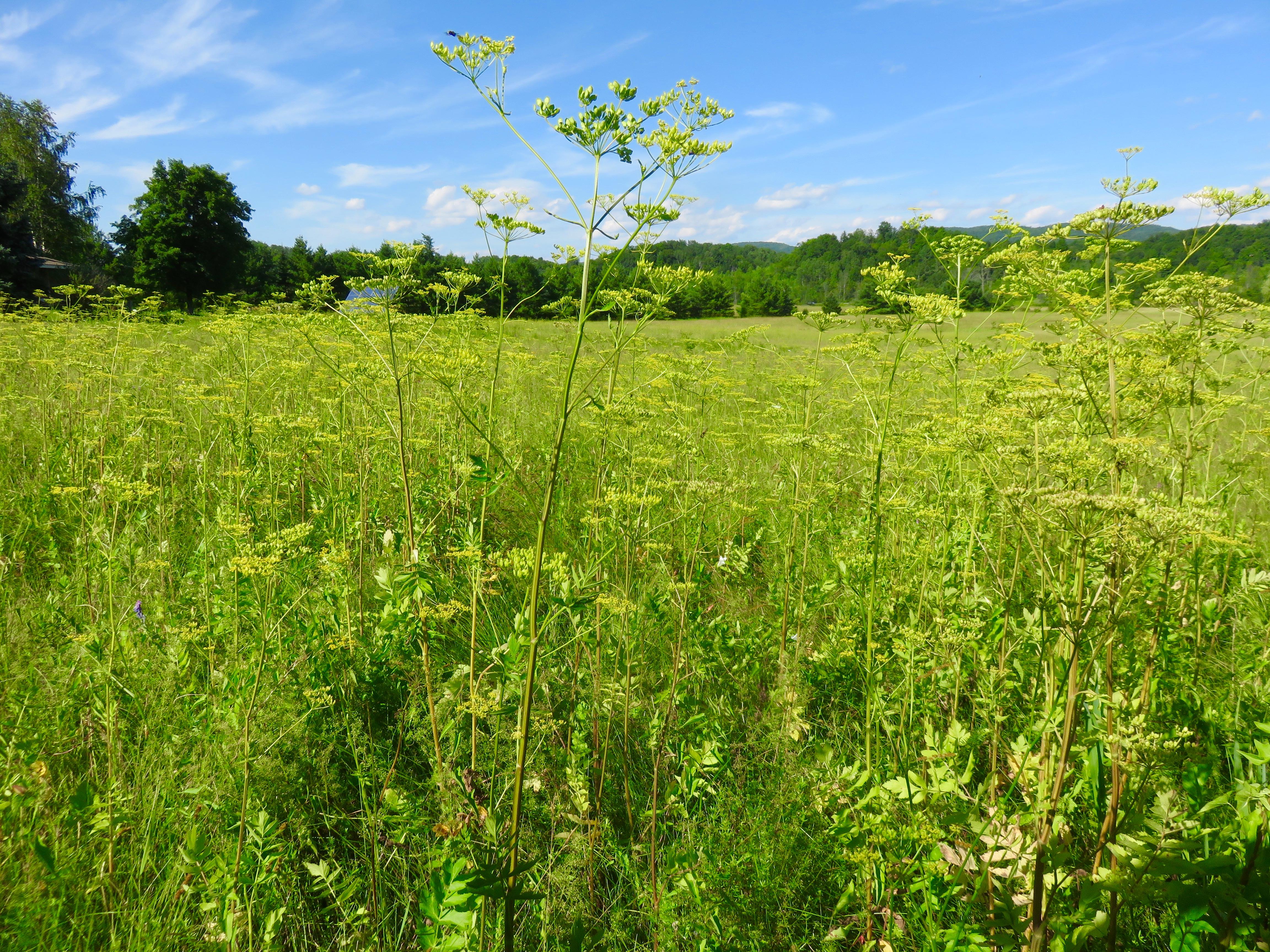 Wild parsnip - Pastinaca sativa 20