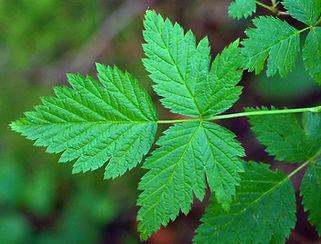 Salmonberry - Rubus spectabilis Leaves