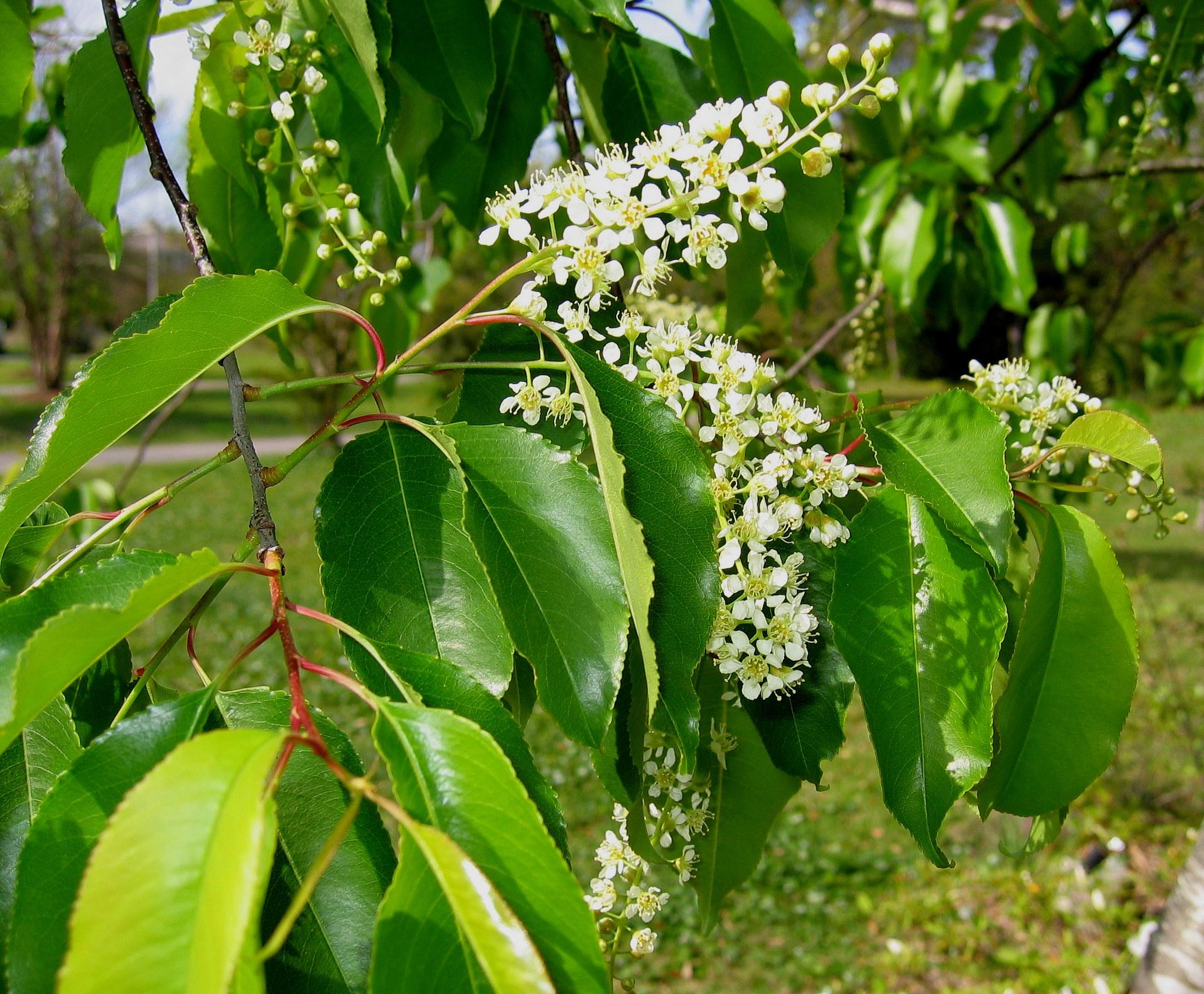 Rum cherry - Prunus serotina 21