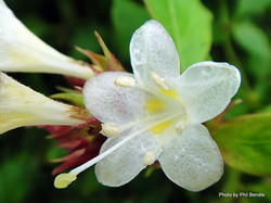 Himalayan honeysuckle - Leycesteria formosa 5