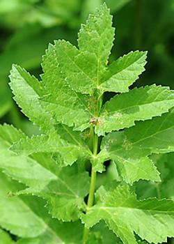 Wild parsnip - Pastinaca sativa 42