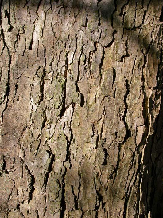 Sycamore - Acer pseudoplatanus 40