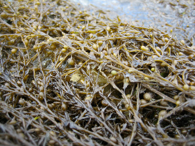 Wireweed_-Sargassum_muticum_12