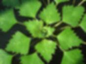We Chestnut - Trapa natans Leaves
