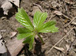 Virginia-creeper - Parthenocissus quinquefolia 28