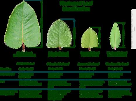 Knotweed Leaf Identification