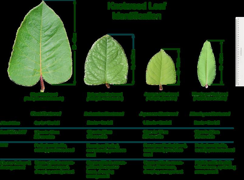 Knotweed leaf size comparison