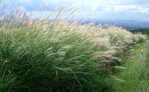 Pampas grass - Cortaderia selloana 13