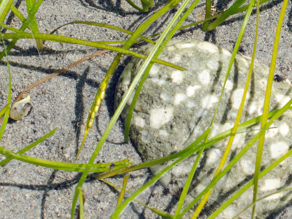 Dwarf Eelgrass - Zostera japonica 10