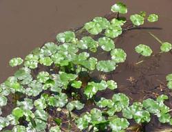 Floating_Pennywort_-Hydrocotyle_ranunculoides_12