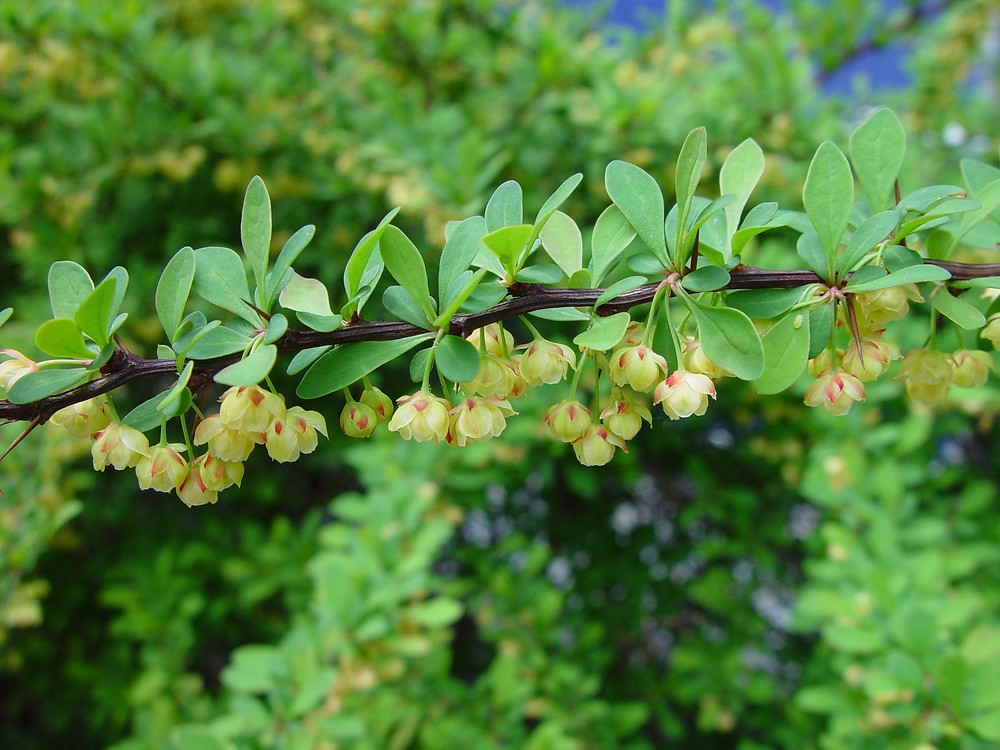 Japanese barberry - Berberis thunbergii 7