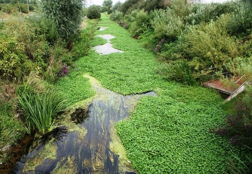 Floating Pennywort - Hydrocotyle ranunculoides (48)