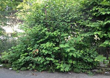 Japanese knotweed growing through hard standing