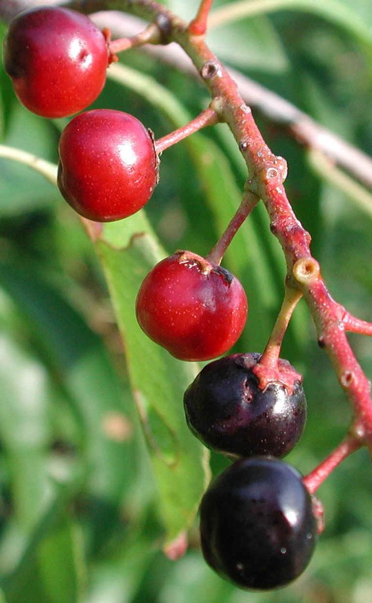Rum cherry - Prunus serotina 2