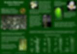 Brazilian waterweed - Egeria densa ID Guide