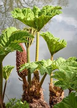 Giant-Rhubarb_-Gunnera_tinctoria_3