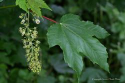 Sycamore - Acer pseudoplatanus 37