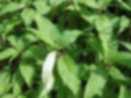 Himalayan Knotweed Leaves