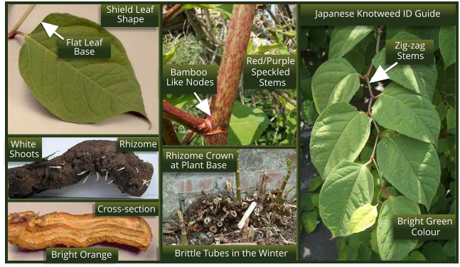 Japanese Knotweed ID