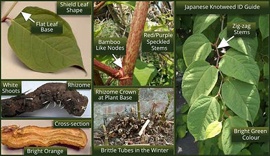 Japanese knotweed quick Identification Card