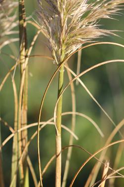 Pampas grass - Cortaderia selloana 33