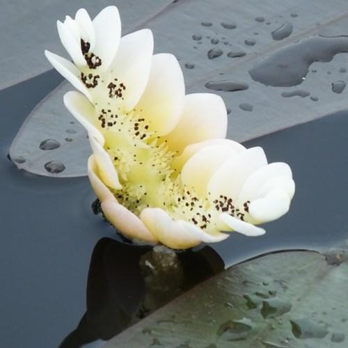 Cape Pondweed - Aponogeton distachyos flower 4