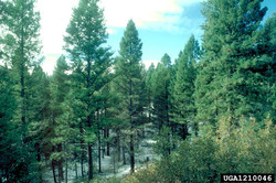 Douglas fir - Pseudotsuga menziesii 7