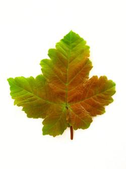 Sycamore - Acer pseudoplatanus 9