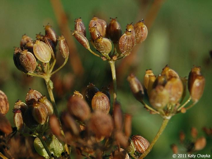 Wild parsnip - Pastinaca sativa 37