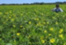 Water-primrose meadow