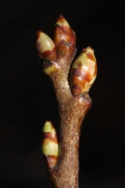 Rum cherry - Prunus serotina 19