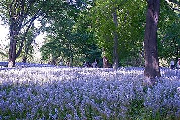 Spanish Bluebell - Hyacinthoides hispanica woodland stand