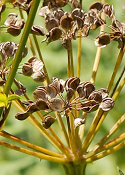 Wild parsnip - Pastinaca sativa 41