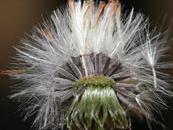 Narrow-leaved ragwort - Senecio inaequidens 15