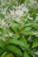 Himalayan Knotweed - (Persicaria wallichii) flowers and leaves