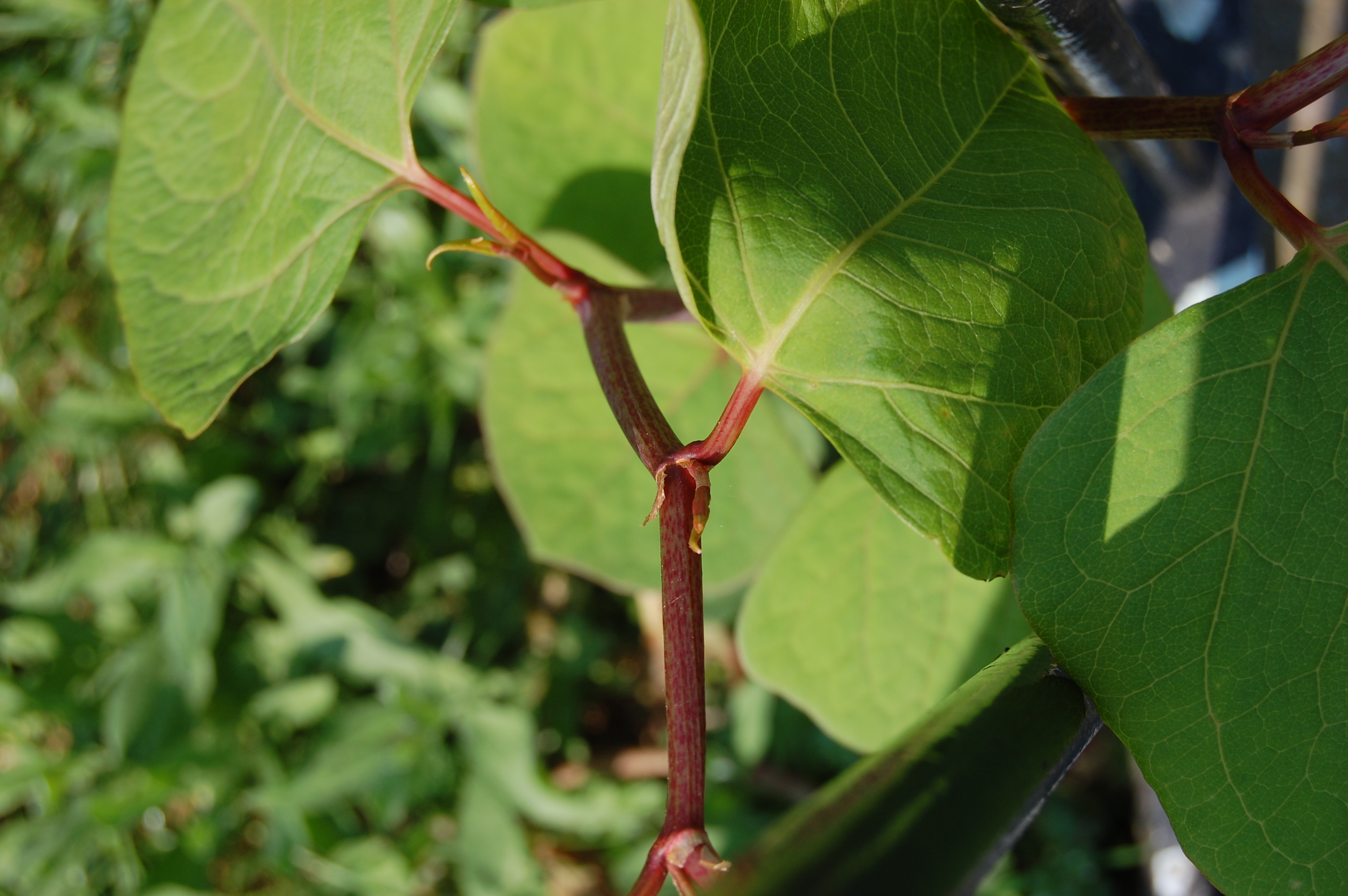 japanese-knotweed-detail