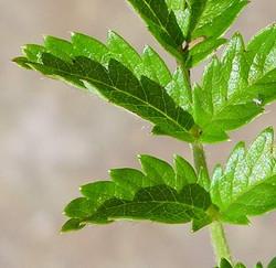 New Zealand bur - Acaena ovalifolia 25