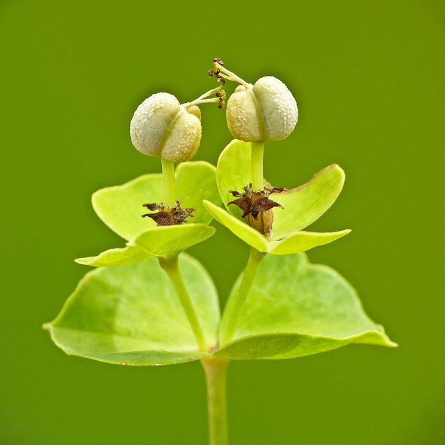 Leafy spurge - Euphorbia esula 2