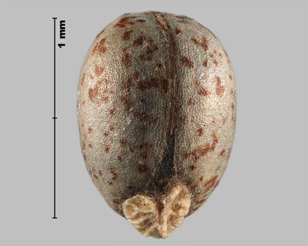 Leafy spurge - Euphorbia esula 43