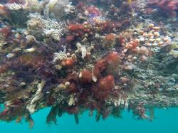Antithamnionella ternifolia 22