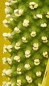 American skunk cabbage