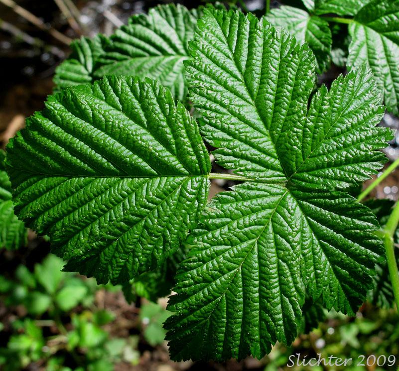 Salmonberry_-Rubus_spectabilis_55
