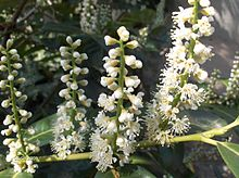 Cherry Laurel - Prunus laurocerasus 3