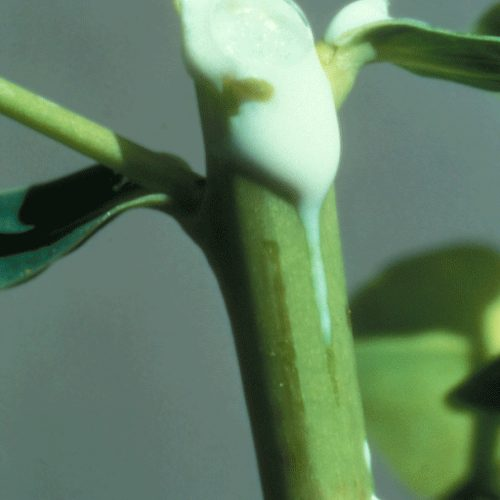 Leafy spurge - Euphorbia esula 56