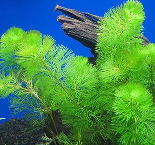 Fanwart - Cabomba caroliniana submerged plant