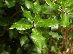 Holm oak - Quercus ilex 14